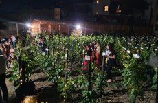 La vendemmia arriva in città! All'Orto Botanico di Roma è tempo di raccogliere i grappoli del Vigneto Italia