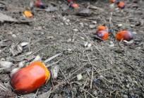 Olio di palma, Novellino: «Danni irreversibili alla biodiversità»